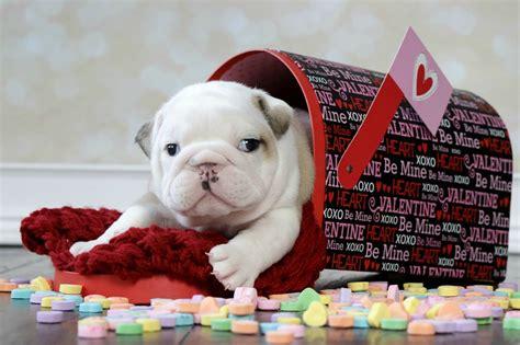 valentines day bulldog newborn bulldog puppies