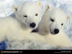 polar bear wallpaper background animals town