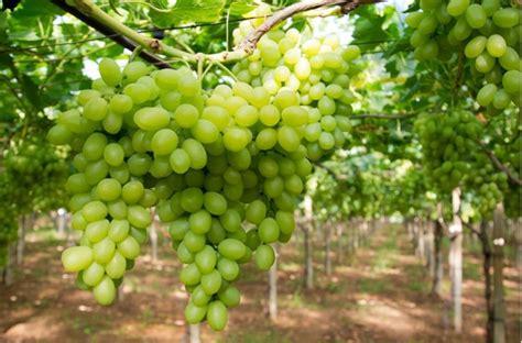 varieta di uva da tavola uva da tavola la puglia vuole mantenere la leadership