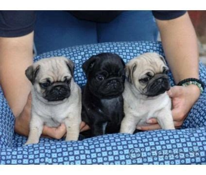 pug puppies for sale jacksonville florida 25 b 228 sta black pugs for sale id 233 erna p 229 mopsar mopsvalpar och mopsar