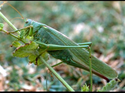 imagenes de saltamontes verdes saltamontes verde com 250 n imagen animalandia