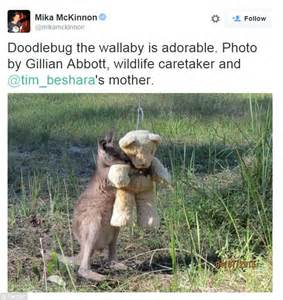 doodlebug wallaby doodlebug the kangaroo hugging teddy goes viral
