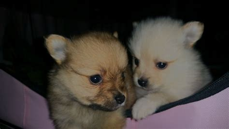 pomeranian white and brown white brown pomeranian puppies 5 gillingham kent pets4homes
