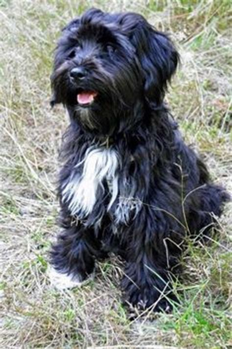 hair cuts for the tebelan terrier newest breed on my list tibetan terrier l animalia