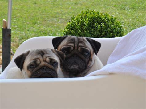 pug encephalitis test pitch black pugs hobsy tobsy 2 chien de race toutes races en tous departements