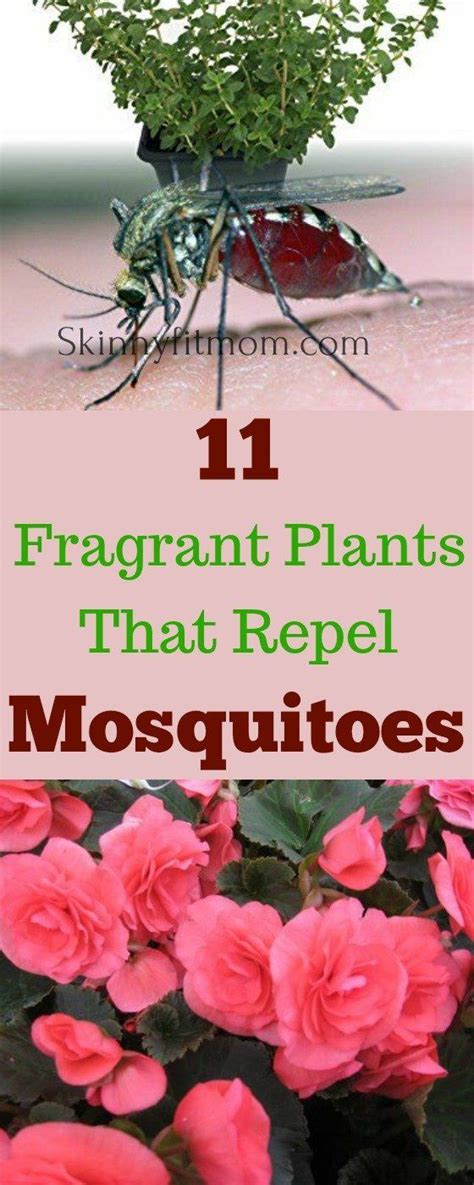 plants that repel mosquitoes best 25 natural mosquito repellant ideas on pinterest