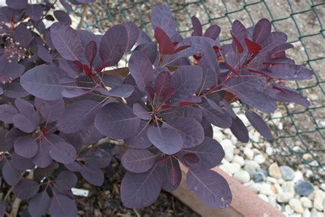 Indoor Vine Plant Cotinus Coggygria Royal Purple