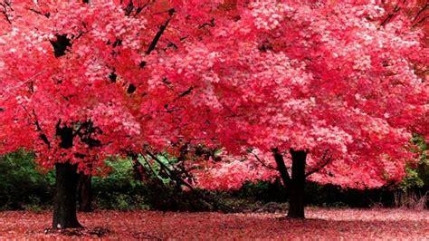 fiore di ciliegio significato fiori di ciliegio significato fiori significato dei