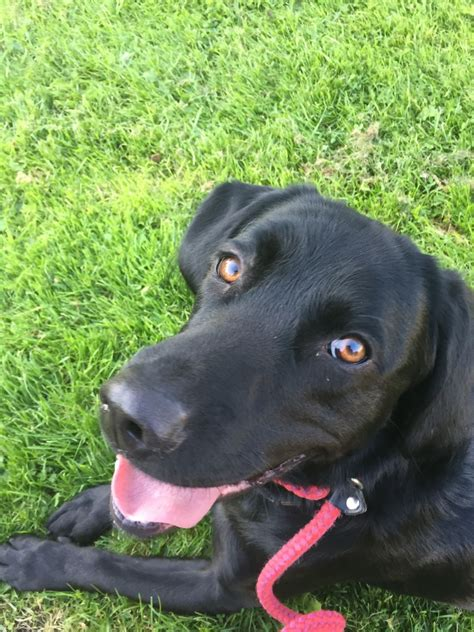 all black dogs springer labrador all black wigan greater manchester pets4homes