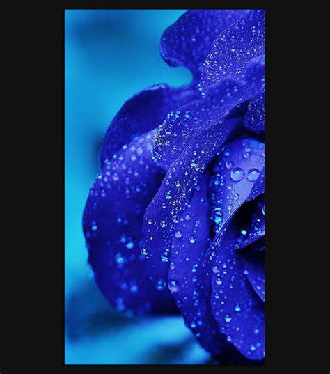 blue rose hd wallpaper   iphone  spliffmobile