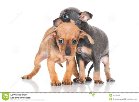 small puppies for free two adorable small puppies royalty free stock photo image 34919305