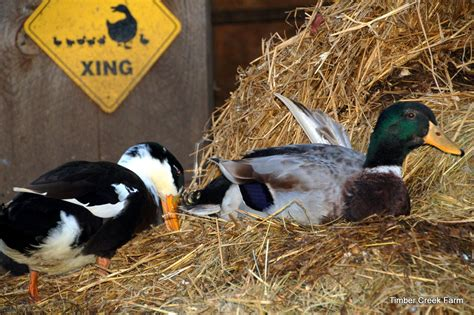 abnormal duck wing timber creek farm