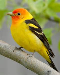 western tanager common backyard birds pinterest