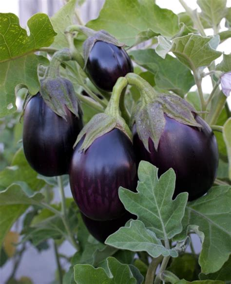 black beauty eggplant plants  sale  shipping