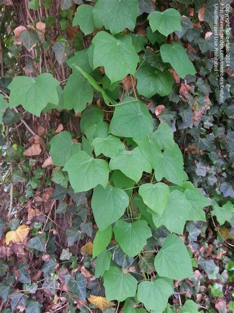 climbing plant leaf identification plant identification closed one or two vines 2 by betulo