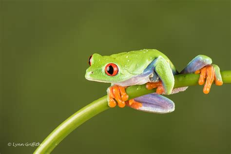 jpeg image eye tree frog d75 2684 jpg as its name suggests the