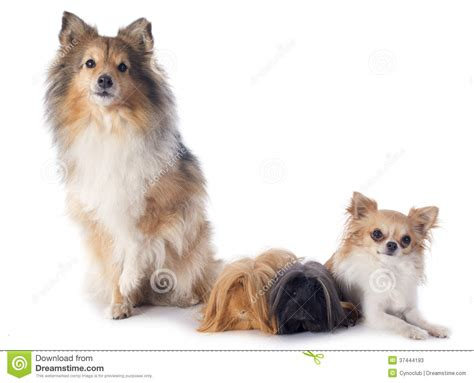 guinea pigs and dogs peruvian guinea pig and dogs stock photos image 37444193
