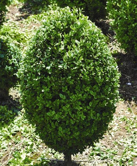 Patio Garden Containers - buxus green mountain egg shape project boxwood conifer container