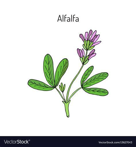 alfalfa images alfalfa medicago royalty free vector image