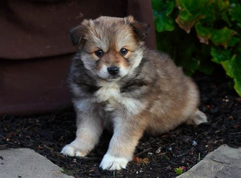 puppies in washington pomsky puppies for sale washington state image breeds picture