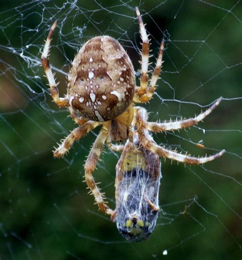 What Is A Uk Garden Spiders Habitat Garden Spider With It S Prey Maman
