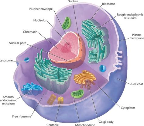 labeled cell diagram animal cell model diagram project parts structure labeled