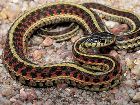 Garter Snake Facts Garter Snake Reptiles World