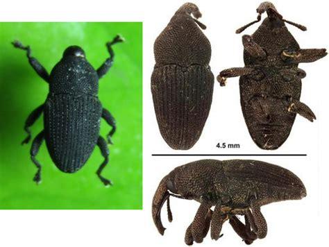 hama kumbang moncong  anggrek agrokompleks kita