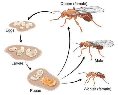 Semut Kroto Rangrang Angkrang ternak budidaya semut angkrang kroto budidaya semut rangrang