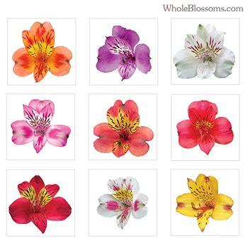 alstroemeria colors order alstroemeria colors of 100 stems whole blossoms