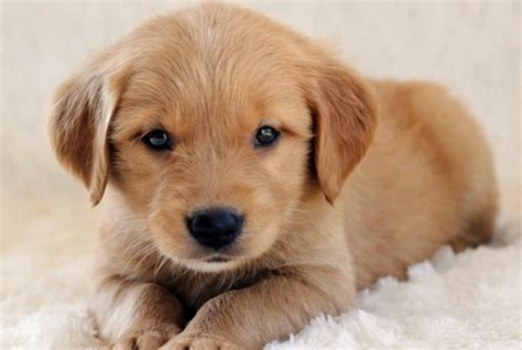 puppy golden retriever for adoption where to adopt golden retriever puppy dogs in our photo
