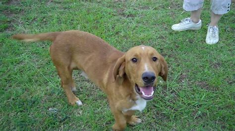 basset hound golden retriever mix basset retriever basset hound golden retriever mix info and pictures