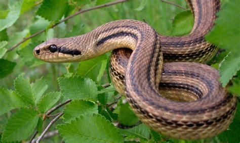 cadena alimenticia serpiente serpientes tipos especies gu 237 as fotos y recursos
