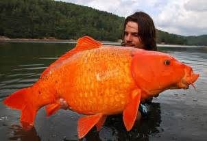 Viral Diseases In Plants And Animals - fisherman raphael biagini catches massive 30lbs goldfish