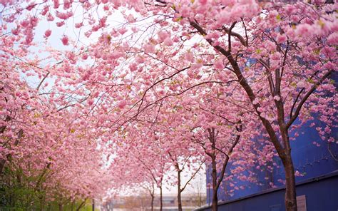 blossom trees cherry blossom wallpaper night wallpaper