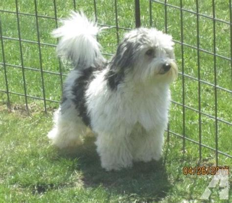 akc havanese akc handsome havanese boy for sale in fredonia new york classified americanlisted