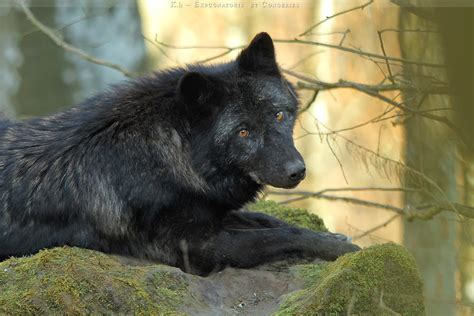 black wolf white wolf stunning photographs showcase the beauty of