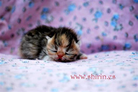 persiani esotici allevamento shirin gatti persiani ed esotici i cuccioli