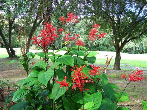 florida flowering shrubs bushes matelic image florida flowering plants with photos