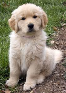 Cute golden retriever puppies photos cute puppies pictures puppy