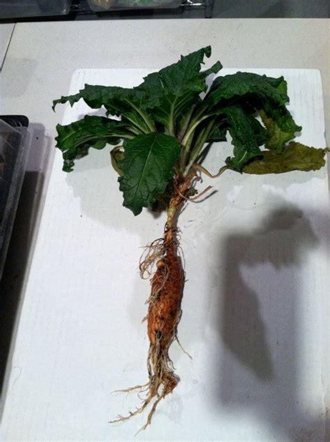 whole grains wic ca mandrake root mandragora autumnalis the black mandrake