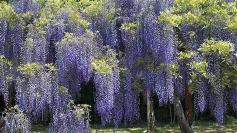 wisteria flower download wallpaper japan flowers hanging wisteria parks