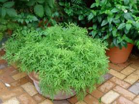 mosquito plants growing mosquito plant citronella in a pot with