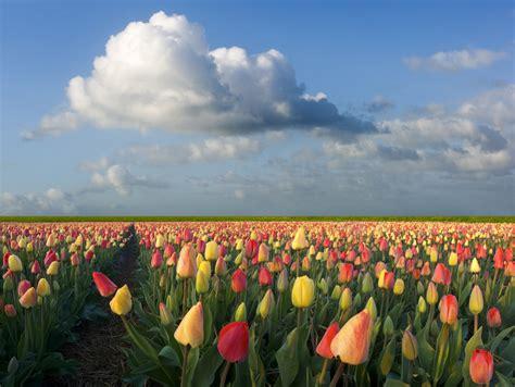 netherlands tulip fields tulipmania in holland flirty fleurs the florist blog