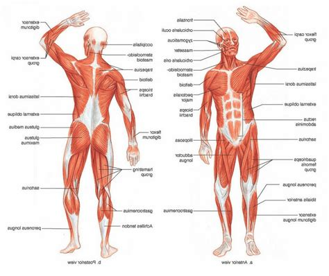 diagram of human labeled diagram of the muscular system anatomy human