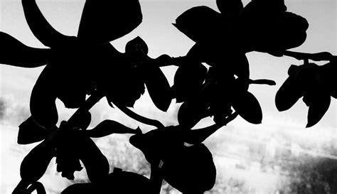 Bibit Anggrek Hitam Papua anggrek hitam tanaman asli papua yang sangat langka dan