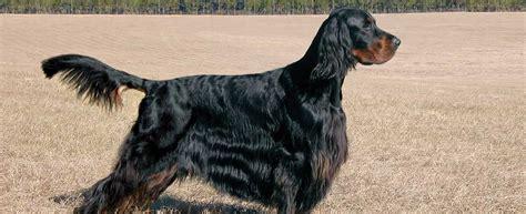 gordon setter dog breed profile petfinder