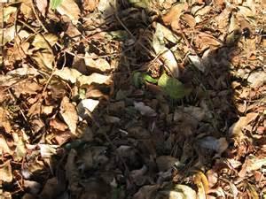 composting oak leaves ask gardenerd leaves for compost gardenerd