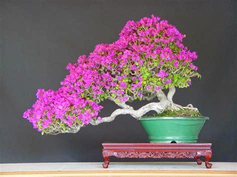 dunia tanaman hias  merawat bonsai bougenvillebunga