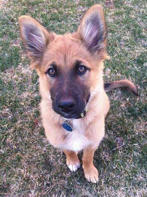 german shepherd mix golden retriever 25 best king shepherd ideas on king german shepherd shepherd puppies and